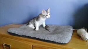 "Young Male Cat - Domestic Short Hair - gray and white: ""Max"""