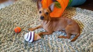 "Young Female Dog - Chihuahua: ""Lollipop"""