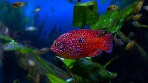 Ruby Red Jewel Cichlid (Hemichromis Species) West African Fish