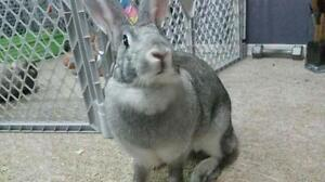 "Young Female Rabbit - Chinchilla: ""Aspen"""