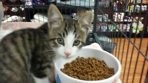 "Baby Female Cat - Domestic Short Hair: ""Tabitha"""