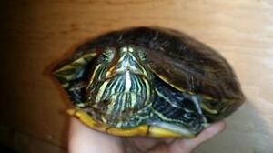 "Young Female Scales, Fins & Other - Turtle: ""Janis"""