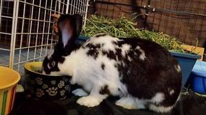 "Adult Female Rabbit - American-New Zealand: ""Vienna and Lily"""
