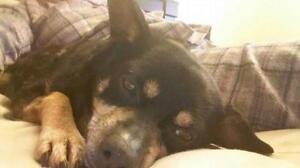 """Adult Female Dog - Chihuahua: """"Girlfriend"""""""