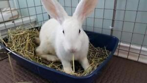 "Adult Male Rabbit - New Zealand: ""Walter"""