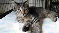 """Baby Male Cat - Domestic Short Hair: """"Chevy"""""""