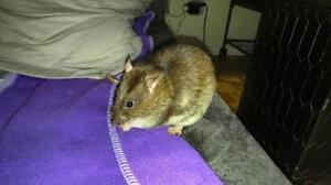 "Young Male Small & Furry - Rat: ""Whisky"""