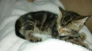 "Baby Male Cat - Domestic Short Hair: ""Walter"""