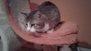 "Adult Male Cat - Domestic Short Hair: ""Billy"""