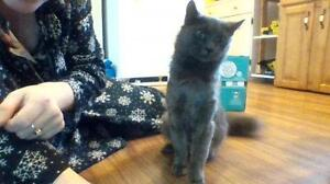 """Adult Female Cat - Domestic Short Hair-gray: """"Zoey"""""""
