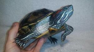 """Adult Female Scales, Fins & Other - Turtle: """"Isadora"""""""