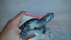 """Young Female Scales, Fins & Other - Turtle: """"Keeda"""""""