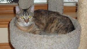 "Young Female Cat - Domestic Short Hair: ""TILLY #2"""