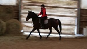 GREAT TRAIL HORSE OR SHOW HORSE