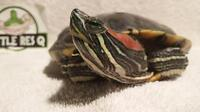 """Adult Male Scales, Fins & Other - Turtle: """"Shadow"""""""
