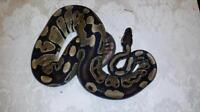 """Young  Scales, Fins & Other - Ball Python: """"Amoco"""""""