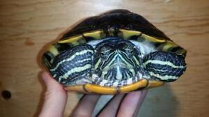 """Adult Female Scales, Fins & Other - Turtle: """"Renee"""""""