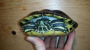 """Adult Male Scales, Fins & Other - Turtle: """"Paul"""""""