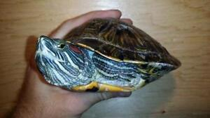 """Young Female Scales, Fins & Other - Turtle: """"Rani"""""""