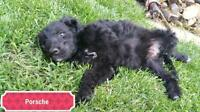 Baby Female  - Standard Poodle-Golden Retriever