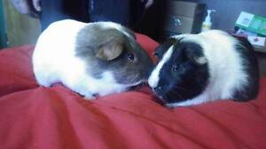 "Adult Male Small & Furry - Short-haired: ""Mocha and Latte"""