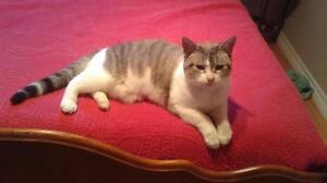 "Adult Female Cat - Domestic Short Hair - gray and white: ""Bunny"" Cambridge Kitchener Area image 2"