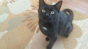 "Young Male Cat - Domestic Short Hair: ""Rupert"""