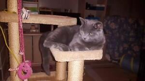 "Young Male Cat - Russian Blue: ""Guizmo"""