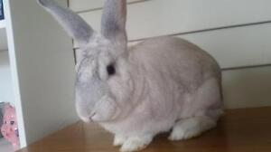 "Adult Male Rabbit - Bunny Rabbit-New Zealand: ""Binky"""