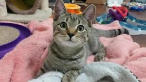 """Young Male Cat - Domestic Short Hair: """"Sapphire & Dewy"""""""