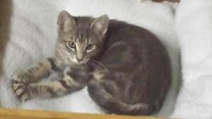 Young Male  - Domestic Short Hair - gray and white