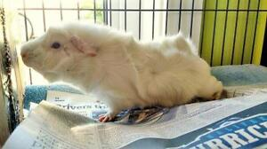 """Young Male Small & Furry - Guinea Pig: """"Marshmallow"""""""