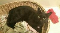 "Young Male Cat - Domestic Short Hair-black: ""Mikey"""