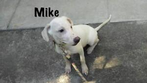 """Young Male Dog - Terrier-Shar Pei: """"Mike"""""""