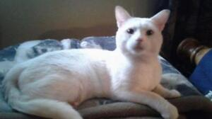 "Adult Male Cat - Domestic Short Hair (White): ""Astro"""