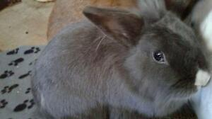 "Adult Female Rabbit - Lionhead-Dwarf: ""Joséphine"""