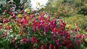 Hardy Bush Fuchsia