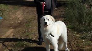 """Young Male Dog - Great Pyrenees: """"Hamilton"""""""