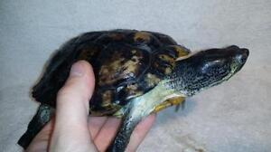 """Adult Male Scales, Fins & Other - Turtle: """"Chase"""""""