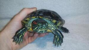 """Adult Female Scales, Fins & Other - Turtle: """"Mrs Clyde"""""""