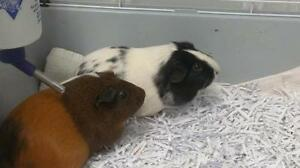 """Young Female Small & Furry - Guinea Pig: """"Buttercup and Panda"""""""