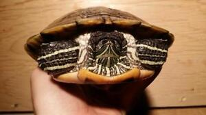 """Adult Female Scales, Fins & Other - Turtle: """"Snickers"""""""