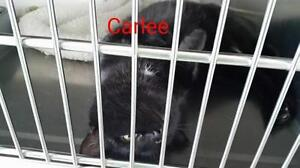 "Adult Female Cat - Domestic Short Hair: ""Carlee"""
