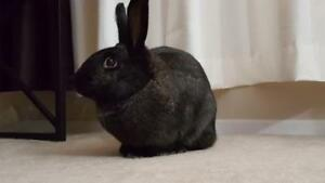 "Adult Female Rabbit - New Zealand: ""Lily"""