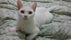 """Adult Female Cat - Domestic Short Hair-white: """"Thea"""""""