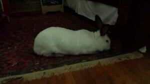 "Adult Female Rabbit - Californian: ""Stella Star"" Cambridge Kitchener Area image 3"