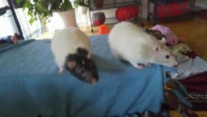 """Adult Male Small & Furry - Rat: """"Shylock & Tolbot"""""""