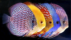 ANYBODY SELLING DISCUS? - group interest