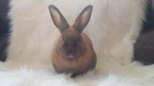 "Adult Female Rabbit - Cinnamon: ""Mirabel"""