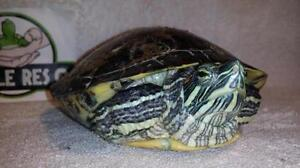 """Adult Male Scales, Fins & Other - Turtle: """"Edgar"""""""